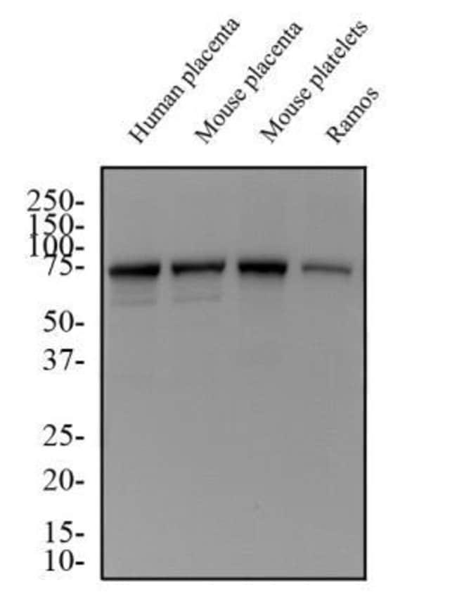 Mouse anti-HLA G, Clone: 87G, Novus Biologicals:Antibodies:Primary Antibodies
