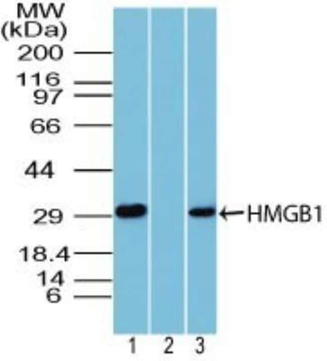 HMGB1/HMG-1 Rabbit anti-Human, Mouse, Polyclonal, Novus Biologicals:Antibodies:Primary