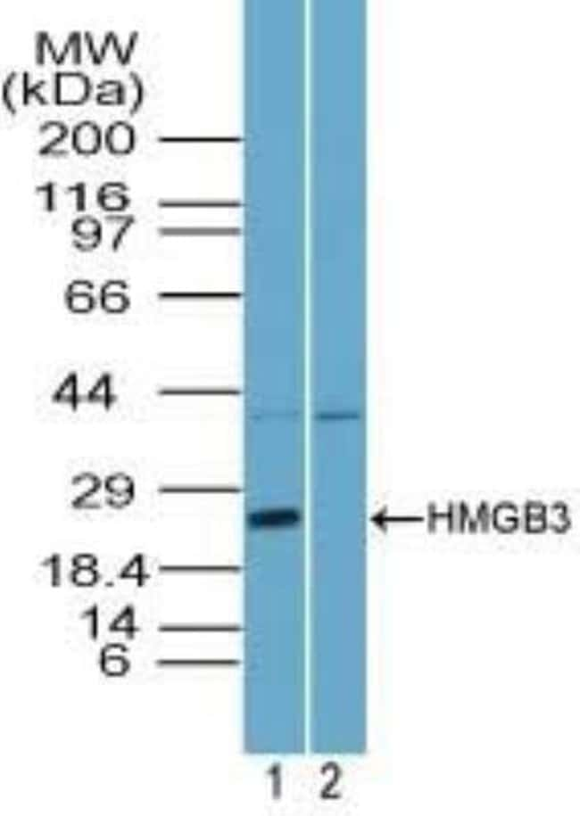 anti-HMGB3/HMG4, Polyclonal, Novus Biologicals:Antibodies:Primary Antibodies