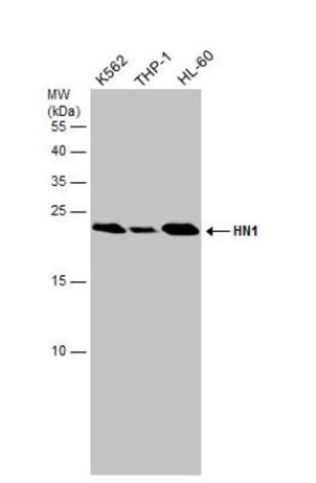 anti-HN1, Polyclonal, Novus Biologicals 0.1mL; Unlabeled:Life Sciences