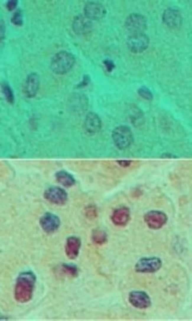anti-HNF-6/ONECUT1, Polyclonal, Novus Biologicals:Antibodies:Primary Antibodies
