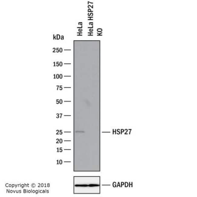 anti-HSP27, Polyclonal, Novus Biologicals:Antibodies:Primary Antibodies