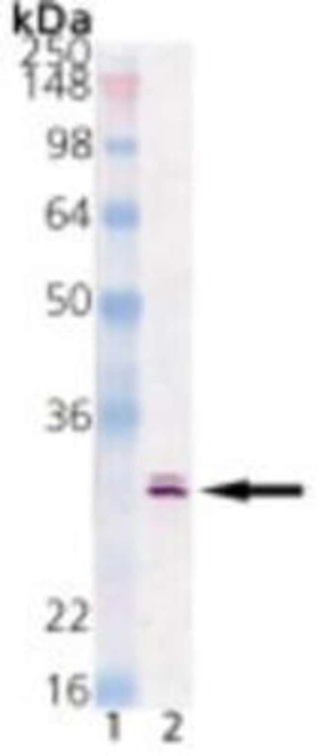 HSP30 Mouse anti-Fish, Clone: RT30.1, Novus Biologicals:Antibodies:Primary