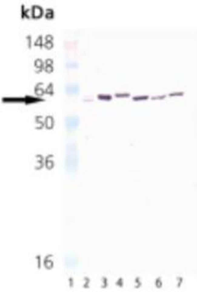 Mouse anti-HSP65 (mycobacterial), Clone: 3F7, Novus Biologicals:Antibodies:Primary