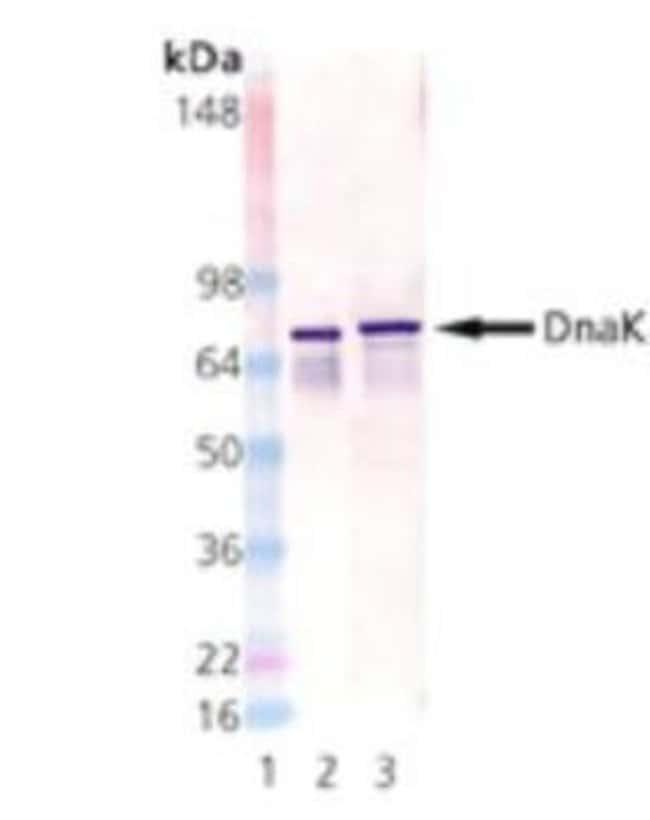 HSP70/DnaK Mouse anti-E. coli, Clone: 8E2/2, Novus Biologicals:Antibodies:Primary
