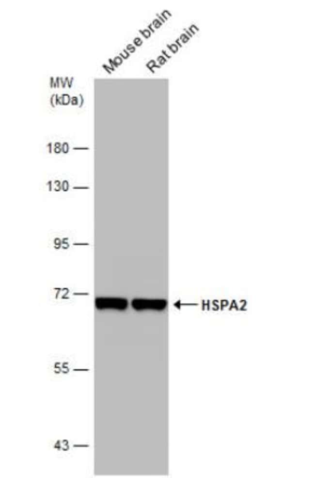 anti-HSPA2, Polyclonal, Novus Biologicals 0.1mL; Unlabeled:Life Sciences