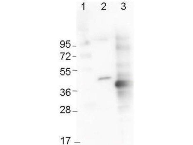 Mouse anti-6-Histidine Epitope Tag, Clone: 33D10.D2, Novus Biologicals