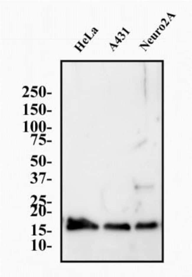 anti-Histone H3.3, Polyclonal, Novus Biologicals:Antibodies:Primary Antibodies