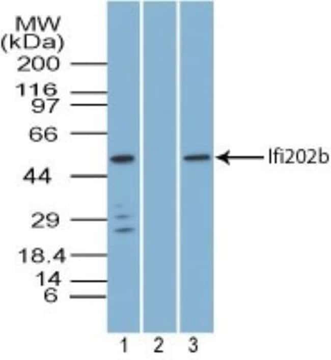 anti-IFI202b, Polyclonal, Novus Biologicals:Antibodies:Primary Antibodies