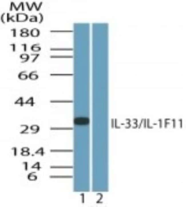 IL-33 Rabbit anti-Human, Canine, Monkey, Polyclonal, Novus Biologicals:Antibodies:Primary
