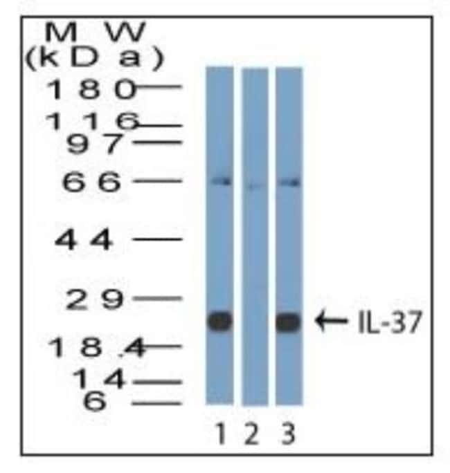 anti-IL-37/IL-1F7, Polyclonal, Novus Biologicals:Antibodies:Primary Antibodies