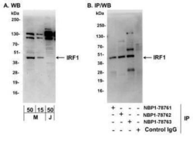 anti-IRF1, Polyclonal, Novus Biologicals 0.1mg; Unlabeled:Life Sciences