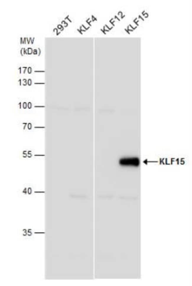 anti-KLF15, Polyclonal, Novus Biologicals 0.1mg; Unlabeled:Life Sciences