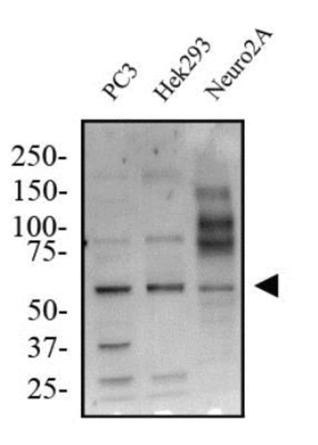 anti-KLF4, Polyclonal, Novus Biologicals:Antibodies:Primary Antibodies