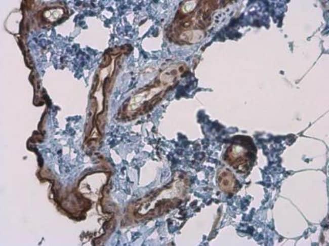Kallikrein 7 Rabbit anti-Human, Mouse, Polyclonal, Novus Biologicals 0.1mL;
