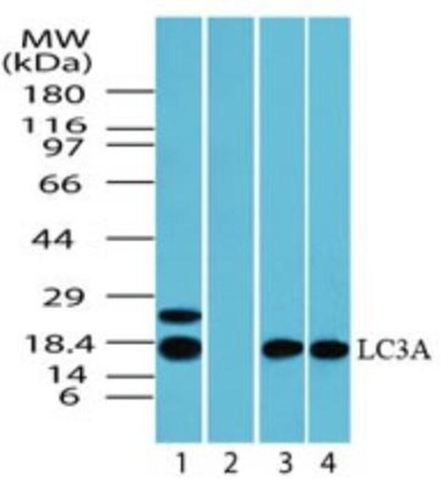 LC3A Rabbit anti-Human, Mouse, Rat, Polyclonal, Novus Biologicals:Antibodies:Primary