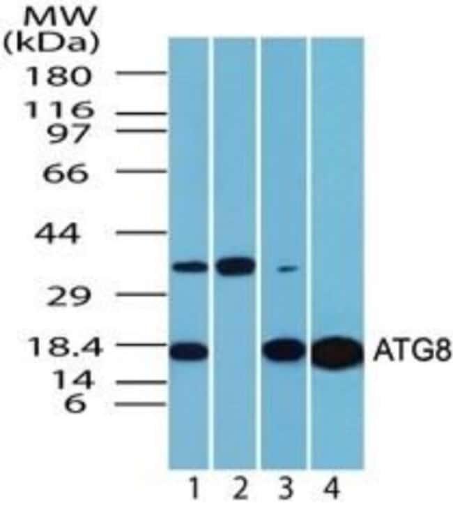 LC3A Rabbit anti-Human, Rat, Polyclonal, Novus Biologicals:Antibodies:Primary