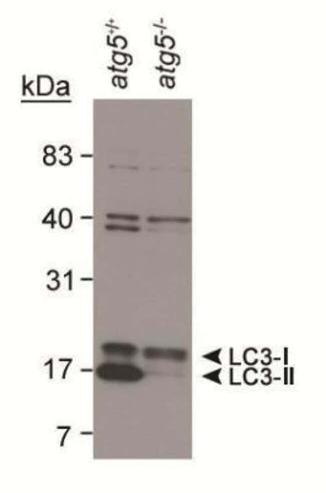 LC3B Rabbit anti-Human, Mouse, Rat, Porcine, Avian, Bacteria, Bovine, Canine,