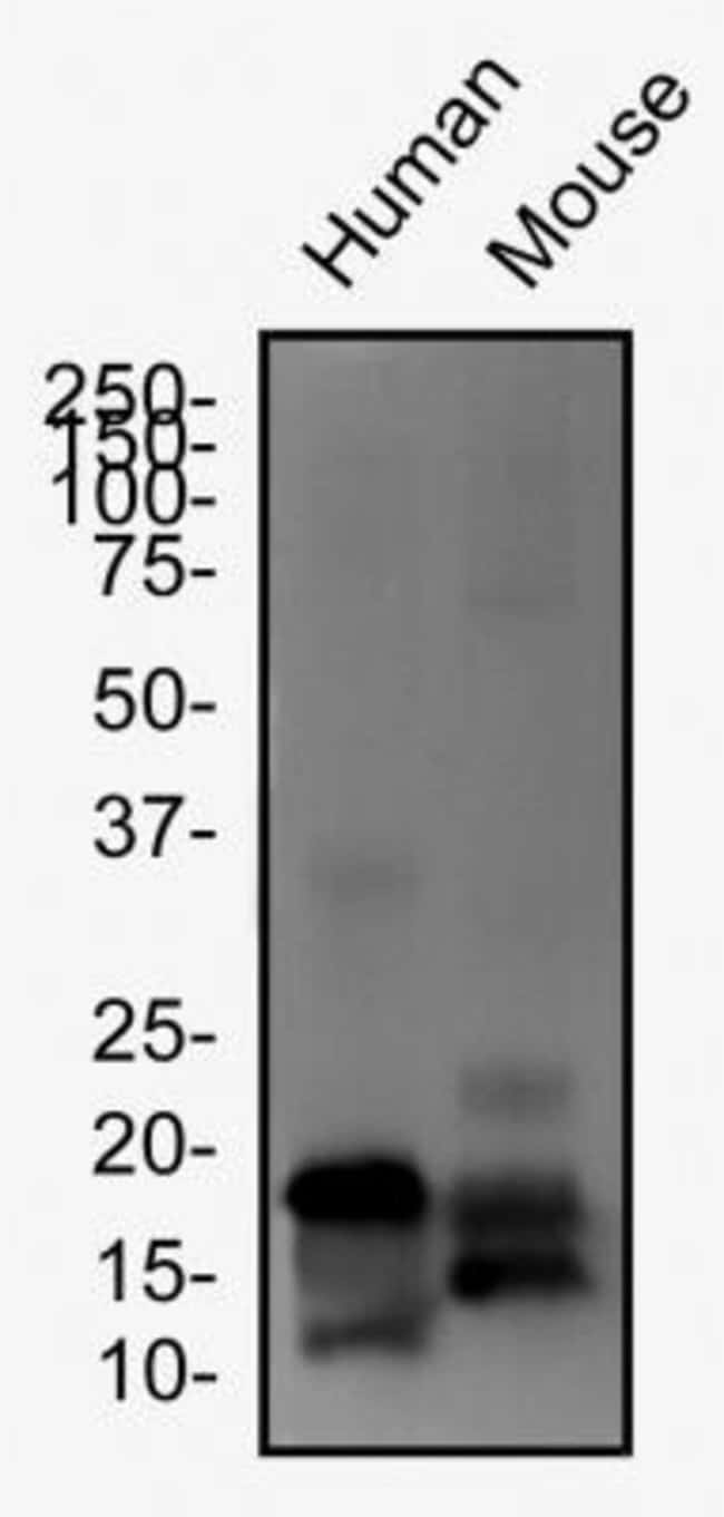 anti-LOX propeptide, Polyclonal, Novus Biologicals:Antibodies:Primary Antibodies