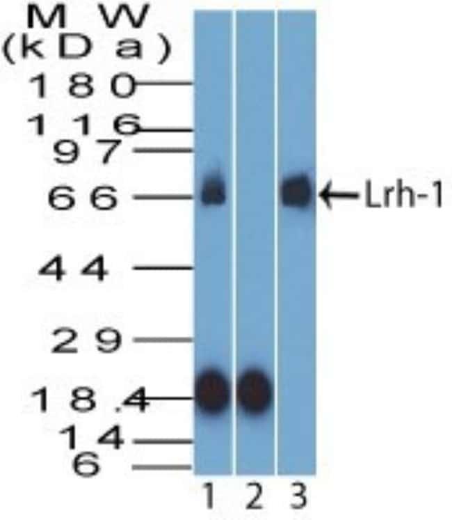 anti-LRH-1/NR5A2, Polyclonal, Novus Biologicals:Antibodies:Primary Antibodies