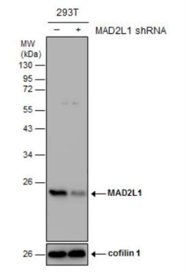 anti-MAD2L1, Polyclonal, Novus Biologicals 0.1mg; Unlabeled:Life Sciences