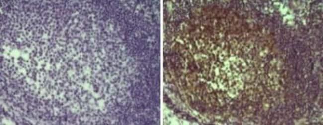 MALT1 Mouse anti-Human, Clone: 50, Novus Biologicals:Antibodies:Primary