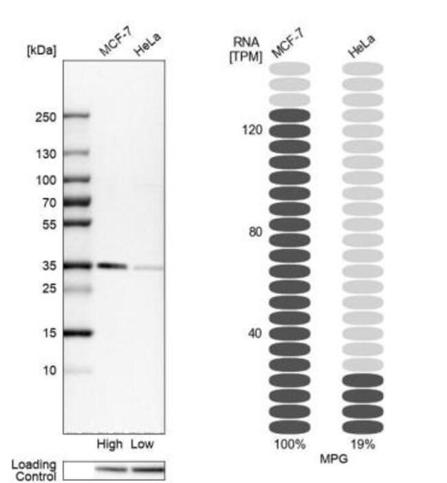 anti-MPG, Polyclonal, Novus Biologicals 0.1mL; Unlabeled:Life Sciences