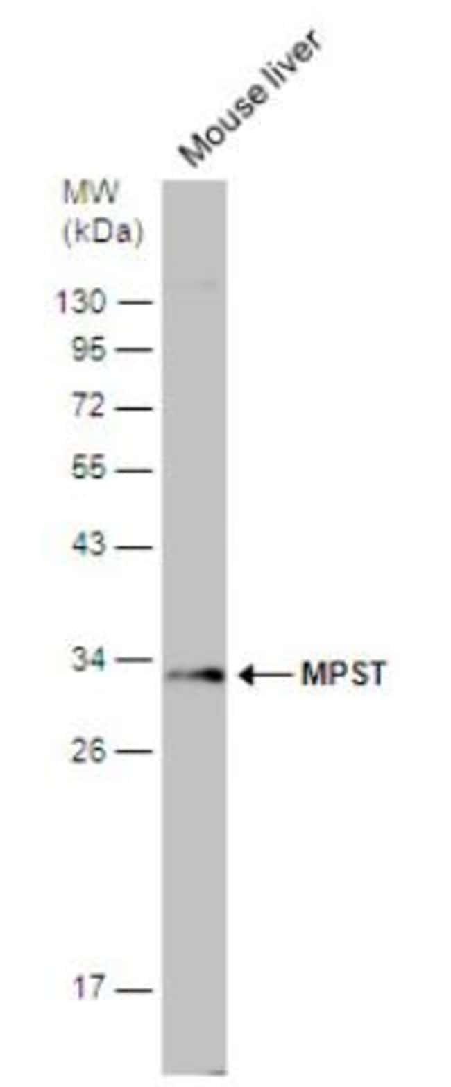 anti-MPST, Polyclonal, Novus Biologicals 0.1mL; Unlabeled:Antibodies