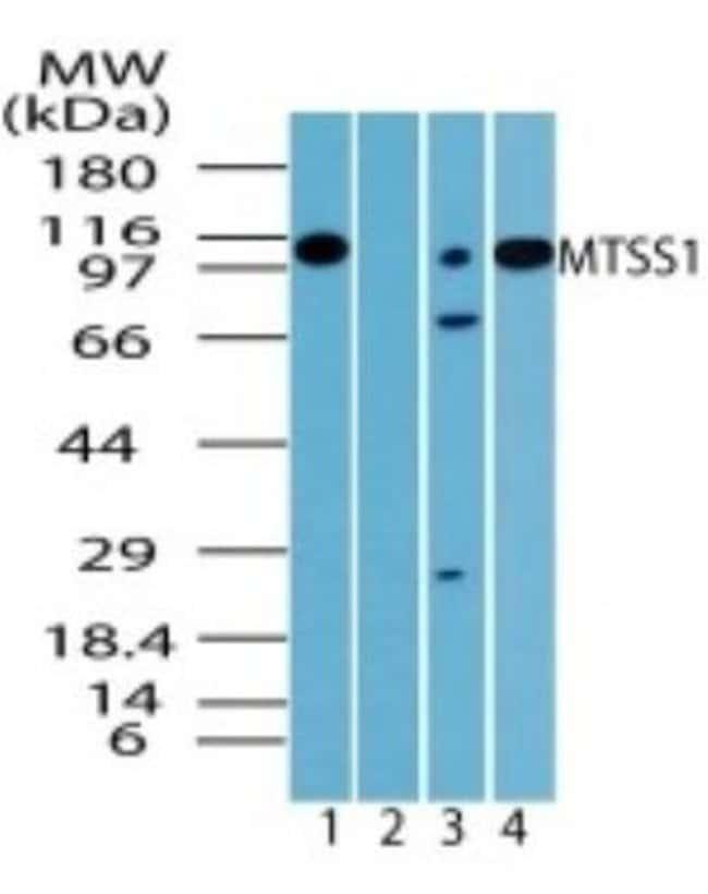 anti-MTSS1, Polyclonal, Novus Biologicals:Antibodies:Primary Antibodies