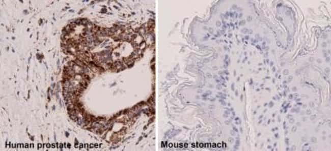 Mouse anti-Mitochondria, Clone: 113-1, Azide Free, Novus Biologicals:Antibodies:Primary