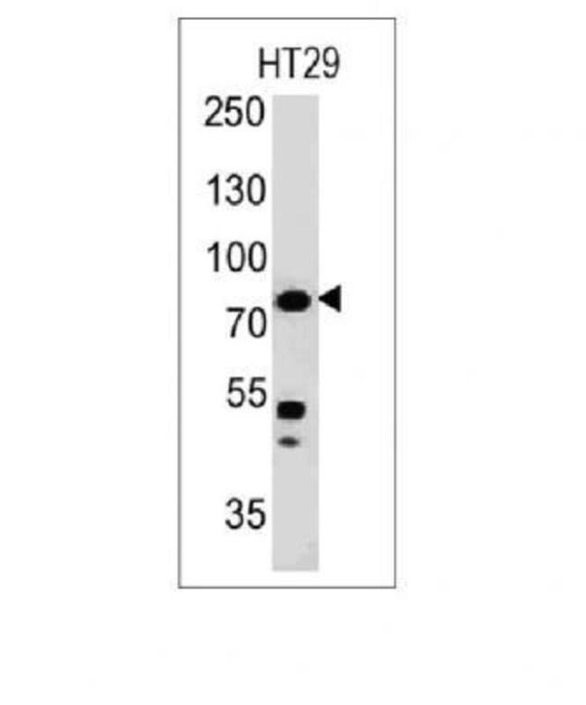 Mouse anti-Moesin, Clone: MSN491, Azide Free, Novus Biologicals:Antibodies:Primary