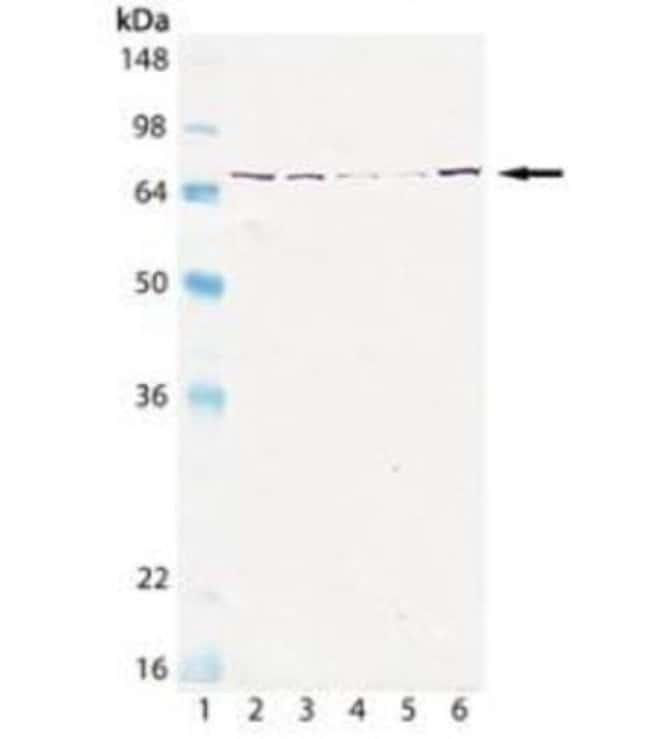 GRP75/HSPA9B/Mortalin Mouse anti-Human, Mouse, Rat, Porcine, Bovine, Canine,