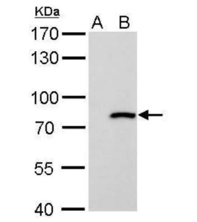 MxA/Mx1 Rabbit anti-Human, Bovine, Monkey, Rabbit, Polyclonal, Novus Biologicals