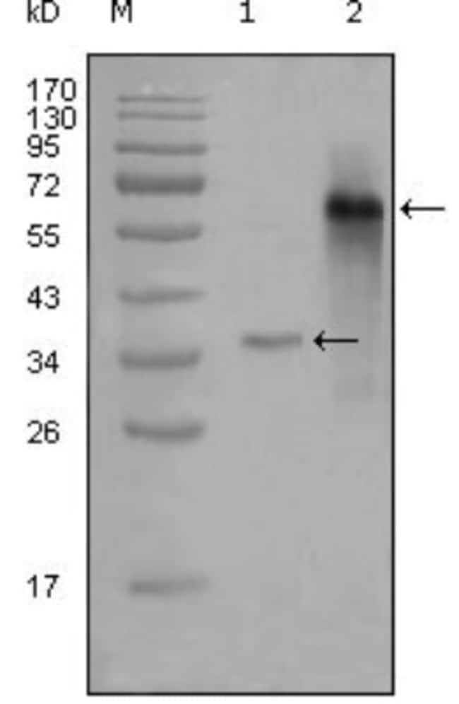 anti-NCOA3/AIB1, Clone: 2C11B12, Novus Biologicals 0.1mL; Unlabeled:Life