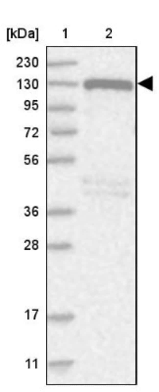 anti-NCOA7, Polyclonal, Novus Biologicals 0.1mL; Unlabeled:Life Sciences