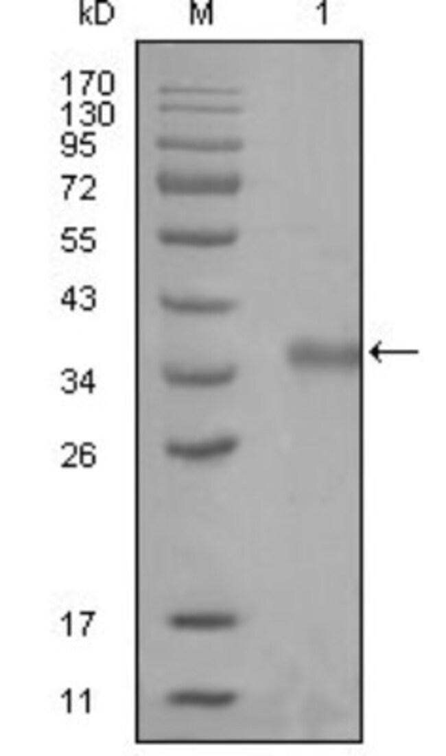 anti-NCOR1, Clone: 7A7A9, Novus Biologicals 0.1mL; Unlabeled:Antibodies