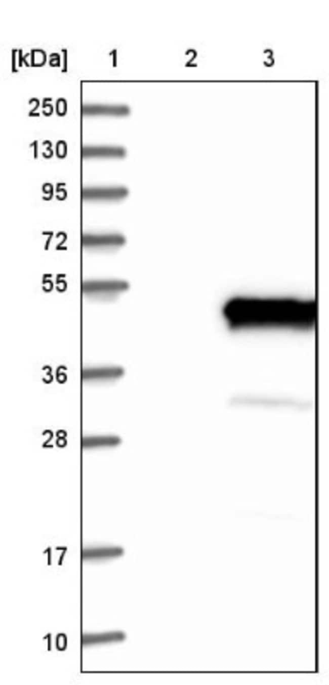 anti-NECAB1, Polyclonal, Novus Biologicals 0.1mL; Unlabeled:Life Sciences