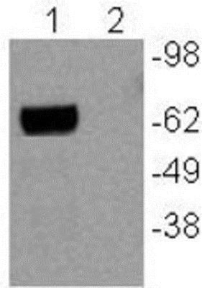 Mouse anti-NGFI-B alpha/Nur77/NR4A1, Clone: 12.14, Novus Biologicals 0.025mg;