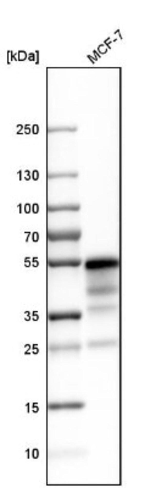 anti-NHERF-1, Polyclonal, Novus Biologicals 0.1mL; Unlabeled:Life Sciences