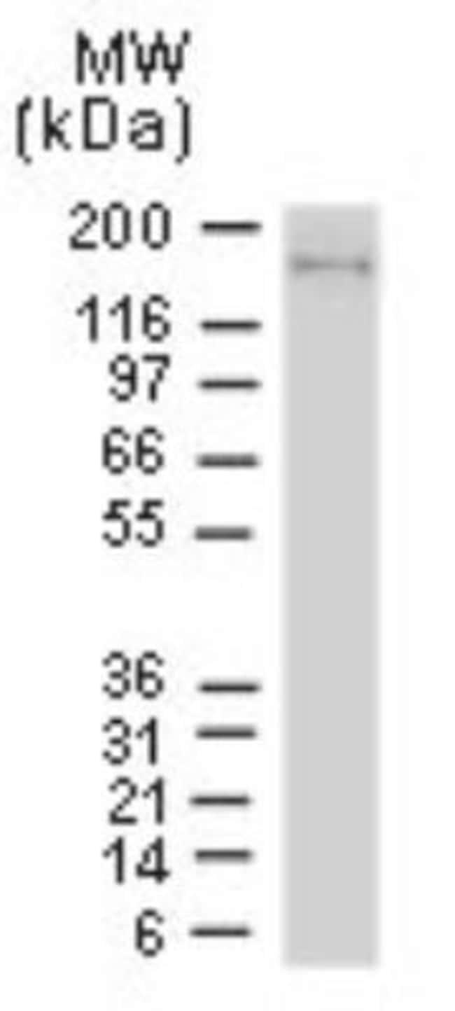 anti-NLRP1/NALP1, Polyclonal, Novus Biologicals:Antibodies:Primary Antibodies
