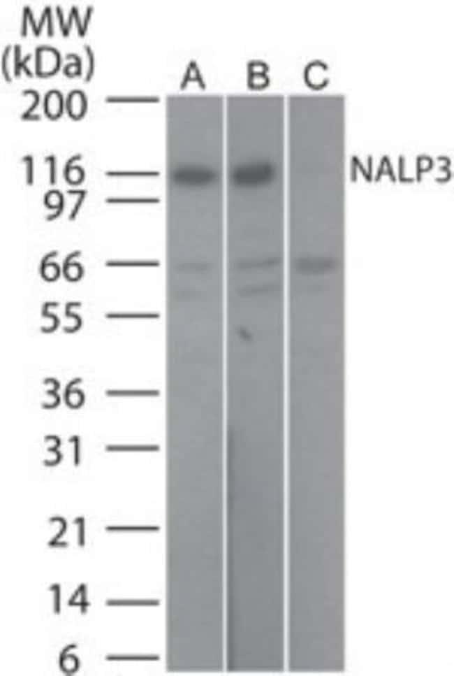 NLRP3/NALP3 Rabbit anti-Human, Mouse, Rat, Polyclonal, Novus Biologicals:Antibodies:Primary