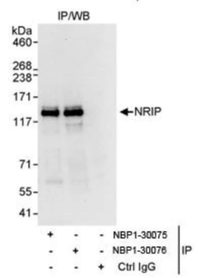 anti-NRIP, Polyclonal, Novus Biologicals 0.1mL; Unlabeled:Life Sciences