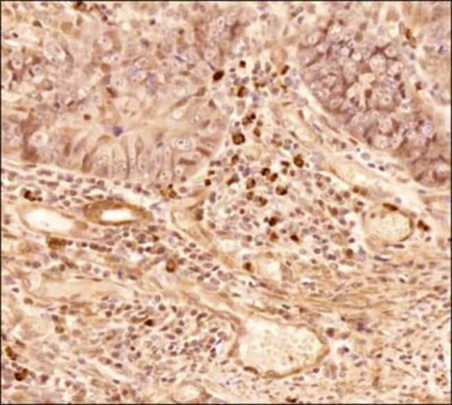 anti-NTH1, Polyclonal, Novus Biologicals:Antibodies:Primary Antibodies