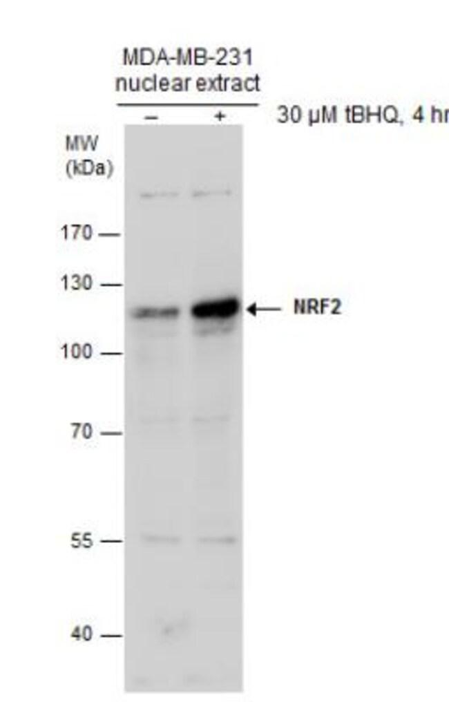 Nrf2 Rabbit anti-Human, Mouse, Rat, Alligator, Avian, Bovine, C. elegans,