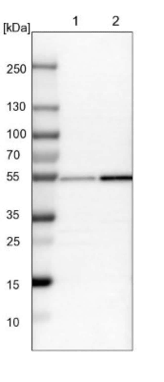 anti-Nucleoredoxin, Polyclonal, Novus Biologicals 0.1mL; Unlabeled:Life