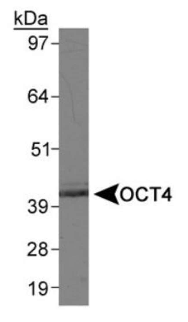 anti-OCT4, Embryonic Stem Cell Marker, Polyclonal, Novus Biologicals:Antibodies:Primary