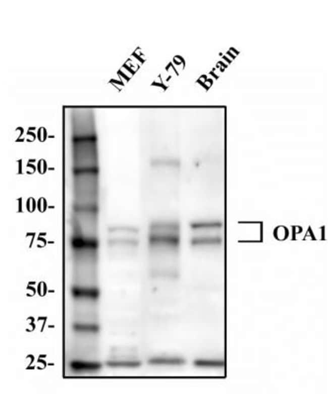 anti-OPA1, Polyclonal, Novus Biologicals:Antibodies:Primary Antibodies