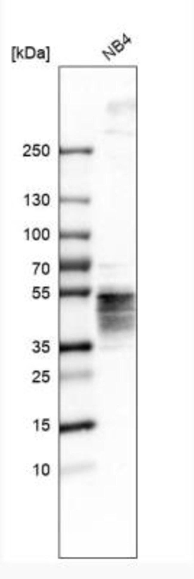 anti-Orai1, Polyclonal, Novus Biologicals 0.1mL; Unlabeled:Life Sciences