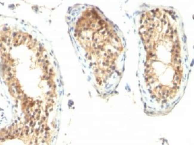 Mouse anti-Ornithine Decarboxylase, Clone: ODC1/485, Azide Free, Novus