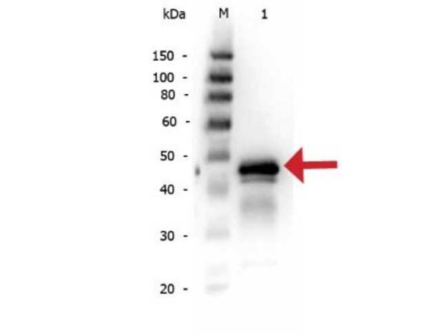 Ovalbumin Rabbit anti-Chicken, Virus, Polyclonal, Novus Biologicals:Antibodies:Primary